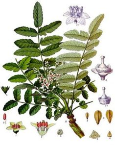 boswellia oliban encens magie theurgie rituel