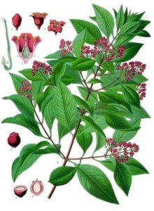 Santalum_album_-_Köhler–s_Medizinal-Pflanzen-128