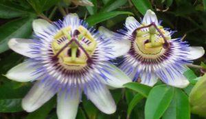 passiflora passiflore encens rituel magie